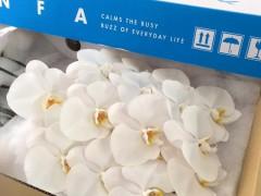 White Phalaenopsis Cut Flowers (V3)