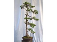 Pinus morrisonicola