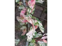 Ulmus parvifolia Jacq.