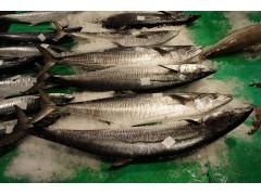 Spanish Mackerel (King Fish)